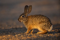 /images/133/2018-05-22-gv-cottontail-mi100-5d4_4858.jpg - #14365: Desert Cottontail in evening light … May 2018 -- Green Valley, Arizona
