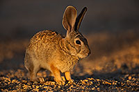 /images/133/2018-05-22-gv-cottontail-mi100-5d4_4872.jpg - #14366: Desert Cottontail in evening light … May 2018 -- Green Valley, Arizona