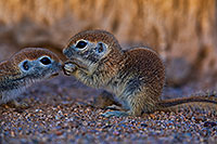 /images/133/2018-05-22-gv-creatures-viv1n1-5d4_4675.jpg - #14367: Baby Round Tailed Ground Squirrels … May 2018 -- Green Valley, Arizona