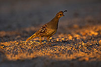 /images/133/2018-05-22-gv-quail-viv1-5d4_4890.jpg - #14368: Female Gambels Quail in evening light … May 2018 -- Green Valley, Arizona