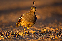 /images/133/2018-05-22-gv-quail-viv77-5d4_4828.jpg - #14369: Female Gambels Quail in evening light … May 2018 -- Green Valley, Arizona