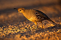 /images/133/2018-05-22-gv-quail-viv77-5d4_4831.jpg - #14370: Female Gambels Quail in evening light … May 2018 -- Green Valley, Arizona