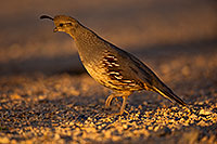 /images/133/2018-05-22-gv-quail-viv77-5d4_4838.jpg - #14371: Female Gambels Quail in evening light … May 2018 -- Green Valley, Arizona