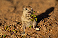 /images/133/2018-05-23-gv-creatures-mi1-5d4_5135.jpg - #14372: Baby Round Tailed Ground Squirrel … May 2018 -- Green Valley, Arizona