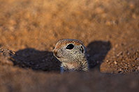 /images/133/2018-05-23-gv-creatures-viv1-5d4_5092.jpg - #14375: Baby Round Tailed Ground Squirrel … May 2018 -- Green Valley, Arizona