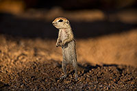 /images/133/2018-05-24-gv-creatures-viv1-5d4_5327.jpg - #14377: Baby Round Tailed Ground Squirrel standing up … May 2018 -- Green Valley, Arizona
