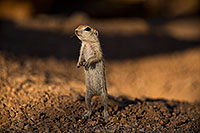 /images/133/2018-05-24-gv-creatures-viv100-5d4_5313.jpg - #14376: Baby Round Tailed Ground Squirrel standing up … May 2018 -- Green Valley, Arizona