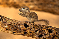 /images/133/2018-05-25-gv-creatures-5d4_6137.jpg - #14386: Baby Round Tailed Ground Squirrel on a cholla … May 2018 -- Green Valley, Arizona