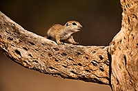 /images/133/2018-05-25-gv-creatures-mi1-5d4_5698.jpg - #14389: Baby Round Tailed Ground Squirrel on a cholla … May 2018 -- Green Valley, Arizona