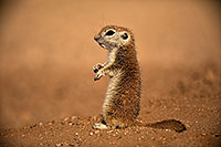 /images/133/2018-05-25-gv-creatures-mi1-5d4_5816.jpg - #14391: Baby Round Tailed Ground Squirrel … May 2018 -- Green Valley, Arizona