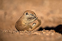 /images/133/2018-05-25-gv-creatures-mi1-5d4_5925.jpg - #14394: Baby Round Tailed Ground Squirrel with a curved tail … May 2018 -- Green Valley, Arizona
