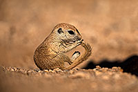 /images/133/2018-05-25-gv-creatures-mi1-5d4_5926.jpg - #14395: Baby Round Tailed Ground Squirrel with a curved tail … May 2018 -- Green Valley, Arizona