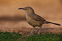 /images/133/2018-05-25-gv-thrasher-viv1-5d4_6104.jpg - #14405: Curved Bill Thrasher in Green Valley … May 2018 -- Green Valley, Arizona