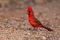 /images/133/2018-05-26-gv-cardinal-viv77-5d4_6324.jpg - #14406: Male Cardinal in Green Valley … May 2018 -- Green Valley, Arizona