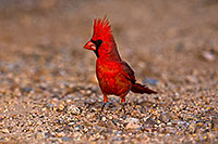 /images/133/2018-05-26-gv-cardinal-viv77-5d4_6338.jpg - #14407: Male Cardinal in Green Valley … May 2018 -- Green Valley, Arizona