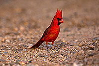 /images/133/2018-05-26-gv-cardinal-viv77-5d4_6387.jpg - #14408: Male Cardinal in Green Valley … May 2018 -- Green Valley, Arizona