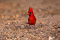 /images/133/2018-05-26-gv-cardinal-viv77-5d4_6407.jpg - #14409: Male Cardinal in Green Valley … May 2018 -- Green Valley, Arizona