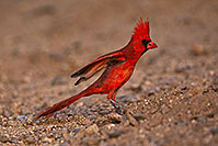 /images/133/2018-05-26-gv-cardinal-viv77-5d4_6434.jpg - #14410: Male Cardinal in Green Valley … May 2018 -- Green Valley, Arizona