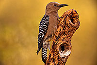 /images/133/2018-05-26-gv-woodpecker-viv77-5d4_6232.jpg - #14413: Female Gila Woodpecker … May 2018 -- Green Valley, Arizona