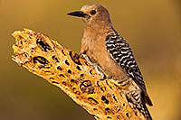 /images/133/2018-05-26-gv-woodpecker-viv77-5d4_6261.jpg - #14414: Female Gila Woodpecker … May 2018 -- Green Valley, Arizona