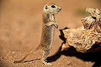 /images/133/2018-05-27-gv-creatures-mi1-5d4_6488.jpg - #14416: Baby Round Tailed Ground Squirrel standing up … May 2018 -- Green Valley, Arizona