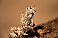 /images/133/2018-05-27-gv-creatures-mi1-5d4_6565.jpg - #14417: Baby Round Tailed Ground Squirrel on a cholla … May 2018 -- Green Valley, Arizona