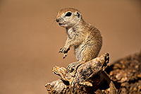 /images/133/2018-05-27-gv-creatures-mi1-5d4_6589.jpg - #14418: Baby Round Tailed Ground Squirrel on a cholla … May 2018 -- Green Valley, Arizona