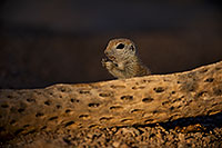 /images/133/2018-05-29-gv-creatures-viv1-5d4_6878.jpg - #14425: Round Tailed Ground Squirrel by cholla … May 2018 -- Green Valley, Arizona