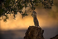 /images/133/2018-05-29-gv-creatures-viv77-5d4_6971.jpg - #14430: Round Tailed Ground Squirrel in Green Valley … May 2018 -- Green Valley, Arizona