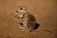 /images/133/2018-05-30-gv-creatures-mi1-5d4_7164.jpg - #14435: Baby Round Tailed Ground Squirrel … May 2018 -- Green Valley, Arizona
