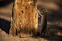 /images/133/2018-05-30-gv-creatures-mi1-5d4_7171.jpg - #14436: Baby Round Tailed Ground Squirrel … May 2018 -- Green Valley, Arizona