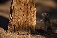 /images/133/2018-05-30-gv-creatures-mi1-5d4_7183.jpg - #14437: Baby Round Tailed Ground Squirrel by a cholla … May 2018 -- Green Valley, Arizona