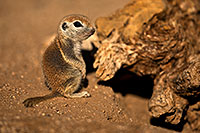 /images/133/2018-05-30-gv-creatures-mi1-5d4_7229.jpg - #14438: Baby Round Tailed Ground Squirrel … May 2018 -- Green Valley, Arizona