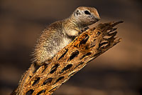 /images/133/2018-05-30-gv-creatures-mi1-5d4_7255.jpg - #14439: Baby Round Tailed Ground Squirrel on a cholla … May 2018 -- Green Valley, Arizona