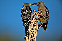 /images/133/2018-05-30-gv-woodpeckers-mi1-5d4_7268.jpg - #14444: Mom (on the left) feeding baby Gila Woodpecker … May 2018 -- Green Valley, Arizona