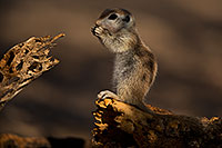 /images/133/2018-05-31-gv-creatures-viv77-5d4_7593.jpg - #14448: Baby Round Tailed Ground Squirrel … May 2018 -- Green Valley, Arizona