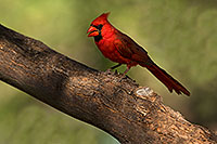 /images/133/2018-06-03-gv-cardinal-viv50-5d4_8172.jpg - #14454: Cardinal in Green Valley … June 2018 -- Green Valley, Arizona