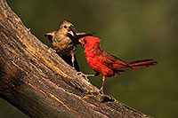 /images/133/2018-06-03-gv-cardinals-viv50-5d4_8211.jpg - #14450: Cardinal male feeding female baby in Green Valley … June 2018 -- Green Valley, Arizona