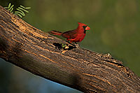 /images/133/2018-06-03-gv-cardinals-viv50-86-5d4_8089.jpg - #14451: Cardinal in Green Valley … June 2018 -- Green Valley, Arizona