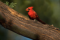 /images/133/2018-06-03-gv-cardinals-viv50-86-5d4_8254.jpg - #14453: Cardinal in Green Valley … June 2018 -- Green Valley, Arizona