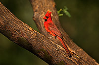 /images/133/2018-06-07-gv-cardinal-5d4_10099.jpg - #14460: Cardinal in Green Valley … June 2018 -- Green Valley, Arizona