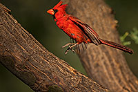 /images/133/2018-06-07-gv-cardinal-92-5d4_10104.jpg - #14461: Cardinal in Green Valley … June 2018 -- Green Valley, Arizona
