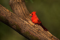/images/133/2018-06-07-gv-cardinal-mi1-5d4_10092.jpg - #14462: Cardinal in Green Valley … June 2018 -- Green Valley, Arizona