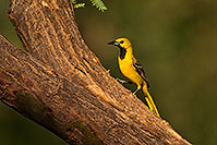 /images/133/2018-06-07-gv-oriole-92-5d4_10117.jpg - #14464: Oriole in Green Valley … June 2018 -- Green Valley, Arizona