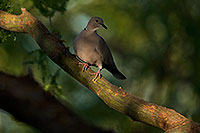 /images/133/2018-06-10-gv-dove-viv1-5d4_11340.jpg - #14469: Eurasian Collared Dove in Green Valley … June 2018 -- Green Valley, Arizona