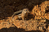/images/133/2018-06-17-box-squirrel-mi77-a7r3_1810.jpg - #14478: Harris Antelope Squirrel in Box Canyon … June 2018 -- Box Canyon, Arizona