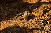 /images/133/2018-06-17-box-squirrel-mi77-a7r3_1830.jpg - #14479: Harris Antelope Squirrel in Box Canyon … June 2018 -- Box Canyon, Arizona