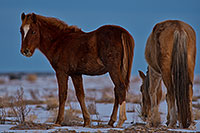 /images/133/2019-01-09-coal-horses-ton1-a7r3_7835.jpg - #14548: Navajo horses near Grand Canyon … January 2019 -- Kayenta, Arizona
