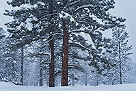 /images/133/2019-02-21-bryce-trees-im1-a7r3_11876.jpg - #14597: Snowy morning in Utah … February 2019 -- Bryce Canyon, Utah
