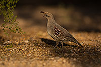 /images/133/2019-05-08-gv-quail-mi1-5d4_1322.jpg - #14621: Gambels Quail in Green Valley … May 2019 -- Green Valley, Arizona